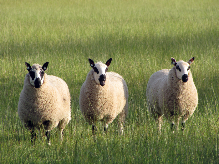 Our Sheep Boyne Valley Wools